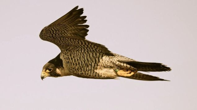 peregrine-falcon-flying.jpg.adapt.945.1