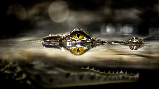 Animals___Reptiles___Eye_crocodile_above_the_water_044013_