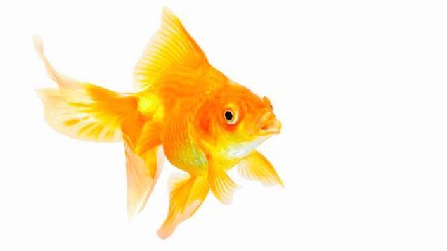 l_shutterstock_goldfish_1200x675 (1)