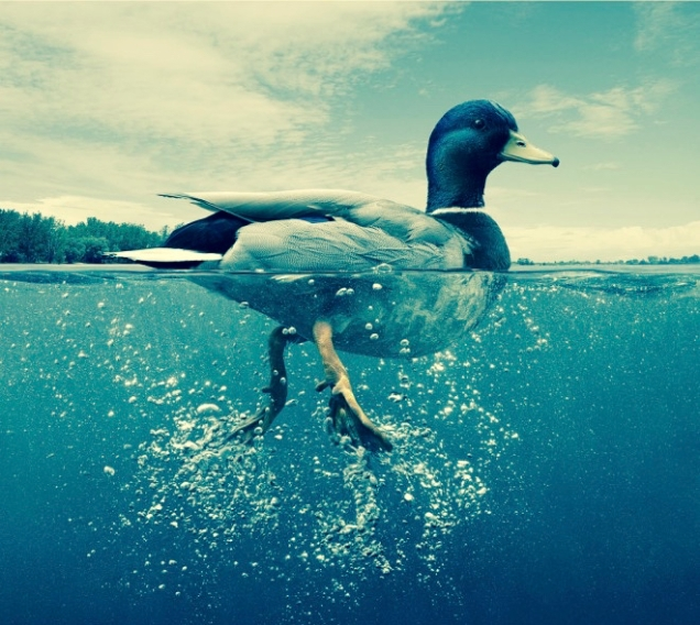 Photograpy - Duck swimming.preview (1)