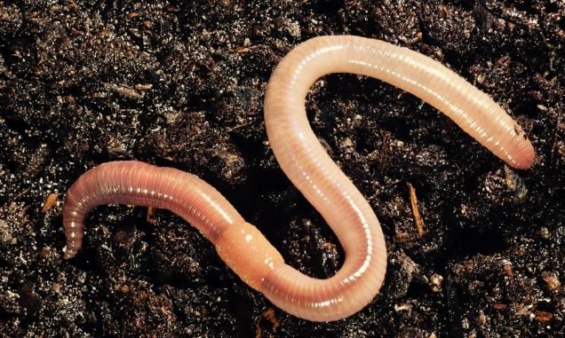 in-noorwegen-regent-het-regenwormen-2559 (1)