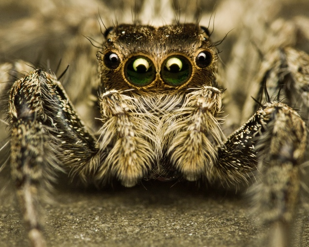 Come_Closer,_Jumping_Spider_(Salticidae)_(6246035845)